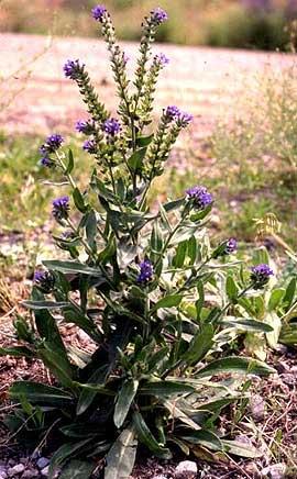 Alkanet Anchusa Officinalis Non Native Tryon Life