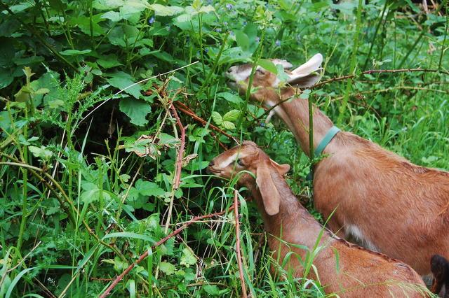 Farm Tour 11 - Goats Browsing.B