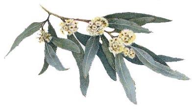 Eucalyptus Eucalyptus spp