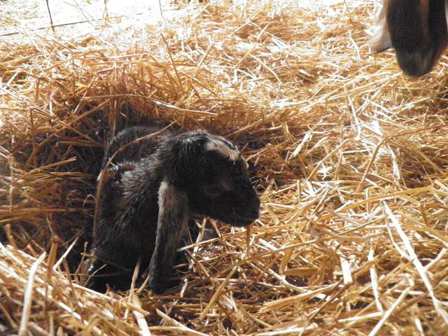 Baby Goat 1 - April 2012