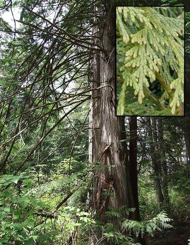 Hardwood western red cedar