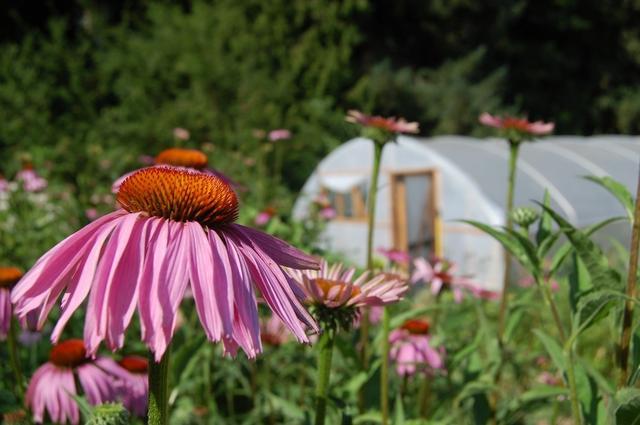 echinacea.greenhouse