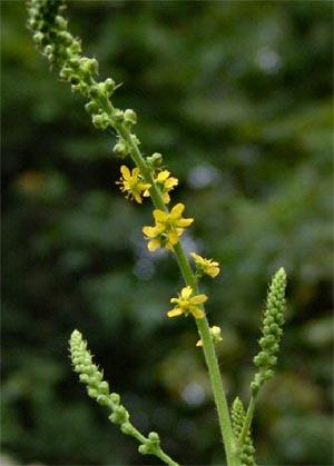 Agrimony-Agrimonia-eupatoria